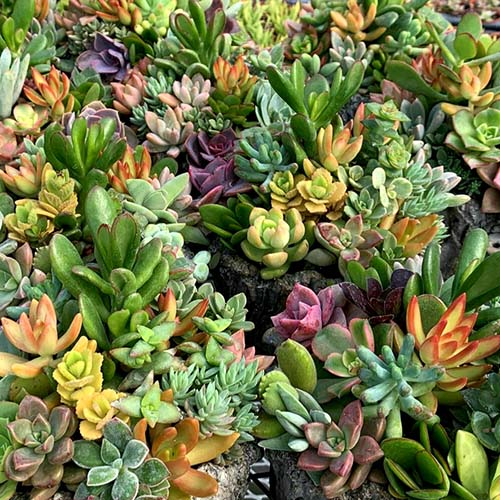 Assorted colourful succulents